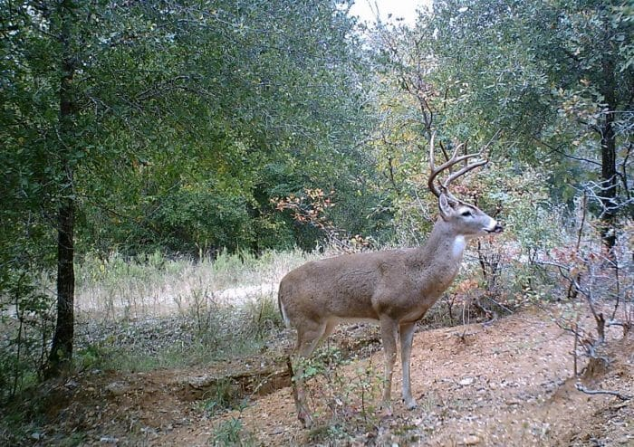 Small Tract Buck