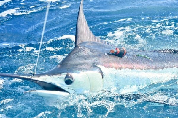 Gray's Fish Tag Research Gets Boost with Billfish Bonanza