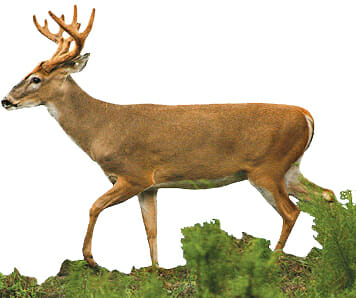 3.5-year-old deer