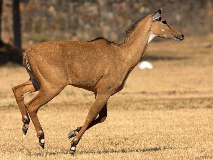 Nilgai Running by: Rushil Fernandes