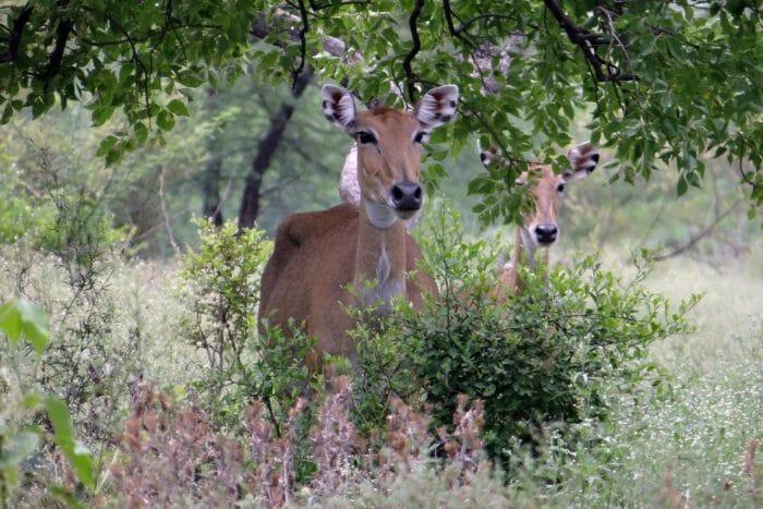 Nilgai Antelope Cows