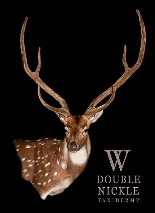 Axis shoulder mount from Double Nickle Taxidermy