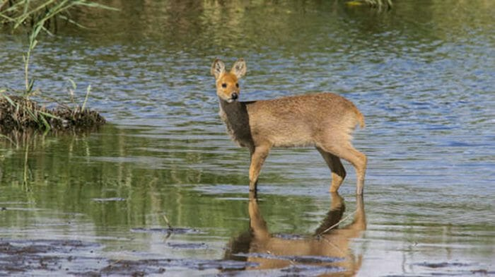 Chinese Water Deer in Norfolk