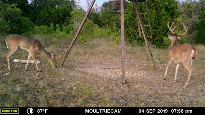whitetail deer on game camera